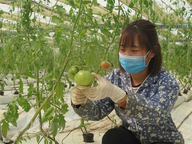 Trang trại nông nghiệp sạch theo tiêu chuẩn VietGap tại xóm Tân Thái, xã Hóa Thượng (Đồng Hỷ, Thái Nguyên). (Ảnh: Quang Thanh/TTXVN)