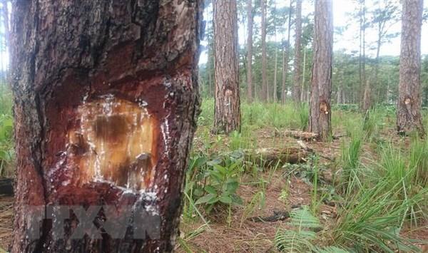 Lâm Đồng: Hàng trăm cây thông bị đầu độc bởi hóa chất - ảnh 1