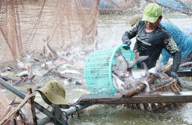 Thu hoạch cá tra ở vùng nuôi cá tra thương phẩm của Công ty Cổ phần Xuất Nhập Khẩu Thủy Sản An Mỹ (An Giang). Ảnh: Công Mạo/TTXVN