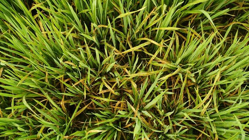 Thời tiết đang 'tạo đà' cho sinh vật gây hại cho vụ lúa Đông Xuân