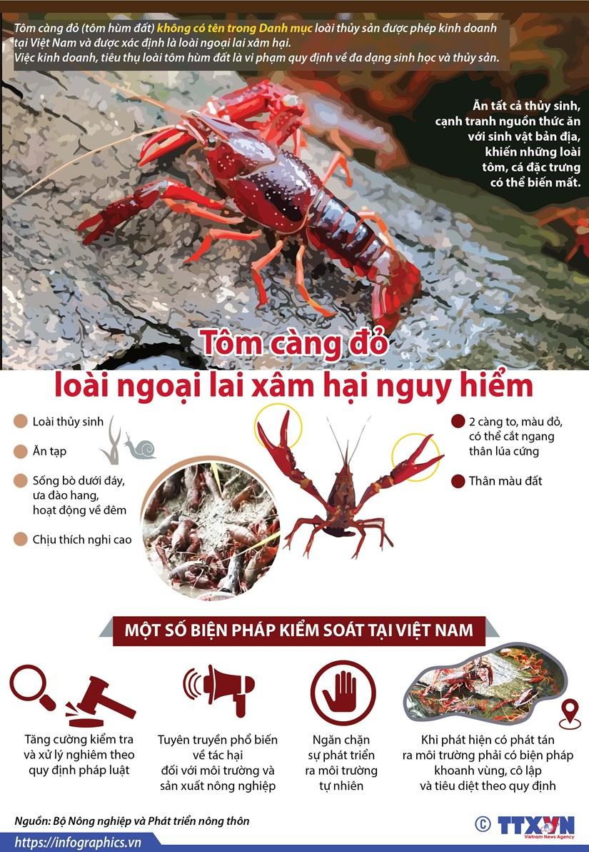[Infographics] Tom cang do - loai ngoai lai xam hai nguy hiem hinh anh 1