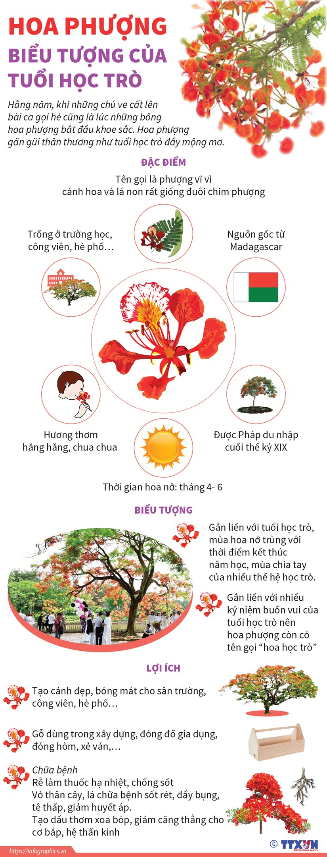 [Infographics] Hoa phuong - mot bieu tuong cua tuoi hoc tro hinh anh 1
