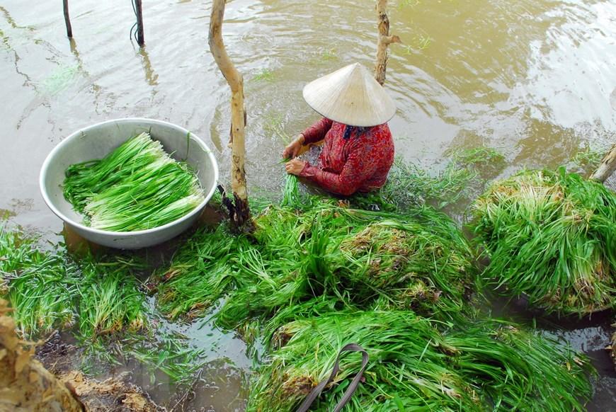 Photo] Đặc sản hẹ nước trên vùng lúa Đồng Tháp Mười | Ẩm thực ...