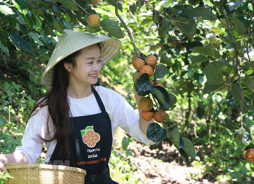 Lâm Đồng: Hồi sinh nghề sấy hồng với công nghệ Nhật Bản - 2
