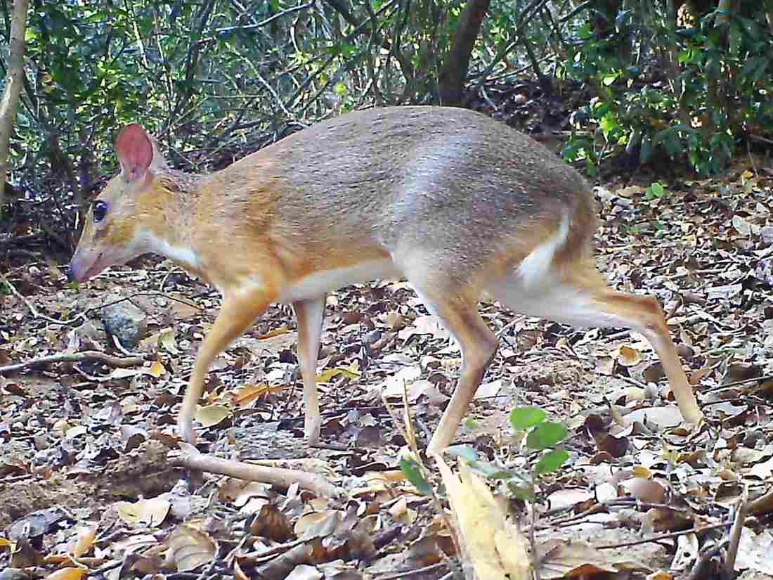Hươu chuột xuất hiện tại Việt Nam sau 30 năm nghi tuyệt chủng   Môi trường   Vietnam+ (VietnamPlus)