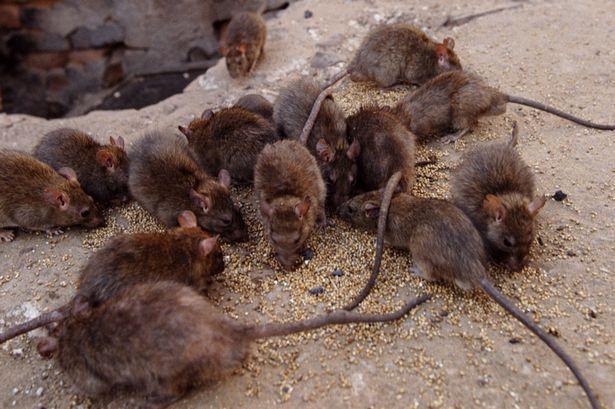 Một phụ nữ nuôi hàng ngàn con chuột rồi thả ra đường | Đời sống | Vietnam+  (VietnamPlus)